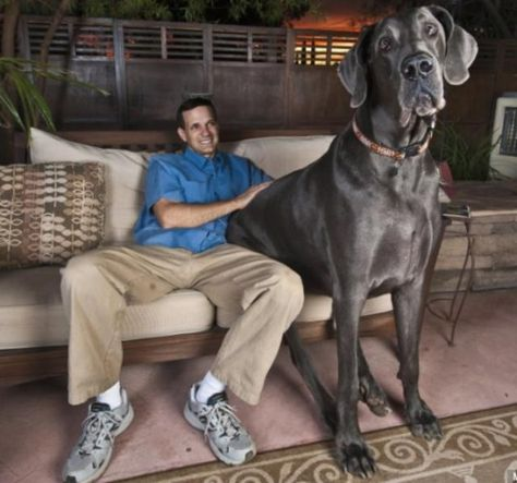 World S Biggest Dog George 230 Pound Great Dane And Guinness