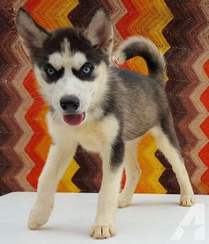 Siberian Husky Puppies Different Markings Available For Sale In