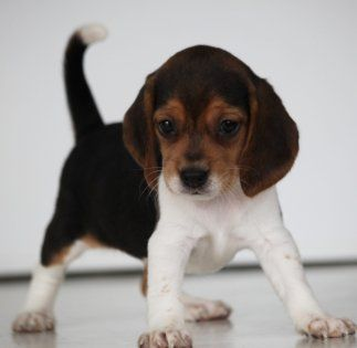 Browse The Widest Most Trusted Source Of Beagle Puppies For Sale