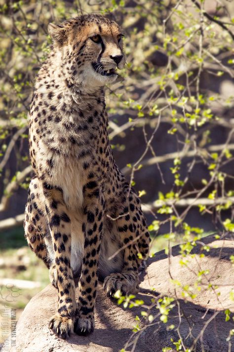 Cheetah Portrait Ii By Ravenith Chats Sauvages Animaux Guepard