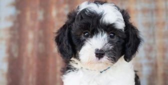 Sheepadoodle Meet One Of The Most Adored Doodles Barking Royalty Hypoallergenic Dogs Dog Crossbreeds Hypoallergenic Dogs Small