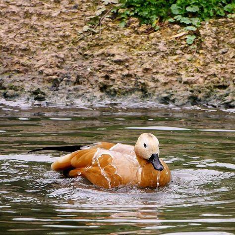 Water off a ducks back!     #slimbridge #wwt #icu_britain #rsa_nature #ukpotd #ig_cameras_united #royalsnappingartists #landscape_lovers #splendid_shotz #rsa_nature_fauna #rsa_macro  #ig_britishisles #landscape_captures #natures_best_shots #jj_naturelover #nuc_member #natgeohub #capturingbritain #lovegreatbritain #natureshooters #rspb #birdwatching #twitching #duck #duckface #rsa_water #rsa_rural #fiftyshades_of_nature #splendid_reflections by rhi_create