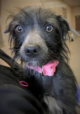 Tangent Or Chinese Crested Meet Mona A Pet For Adoption Pet