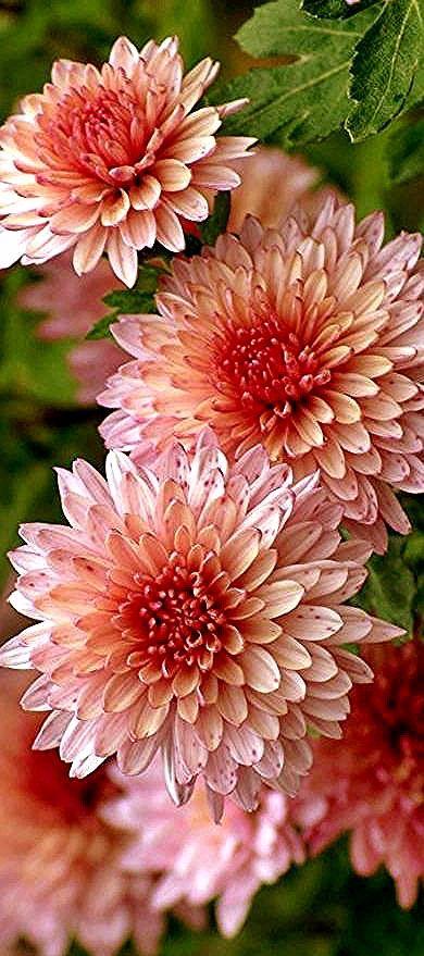 Chrysanthemum Chrysanthemums Chrysanthemum Flowering Plants Choose Mums Flowers Chrysanthemum Flower Beautiful Flowers