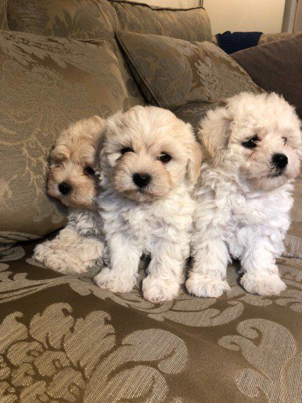 Kuwait Dogs And Puppies Adoption And Sales Email Us At Khaleelsalafi Hotmail Com Quality F1 Maltipoo Pup Maltipoo Puppy Maltipoo Puppies For Sale Maltipoo Dog