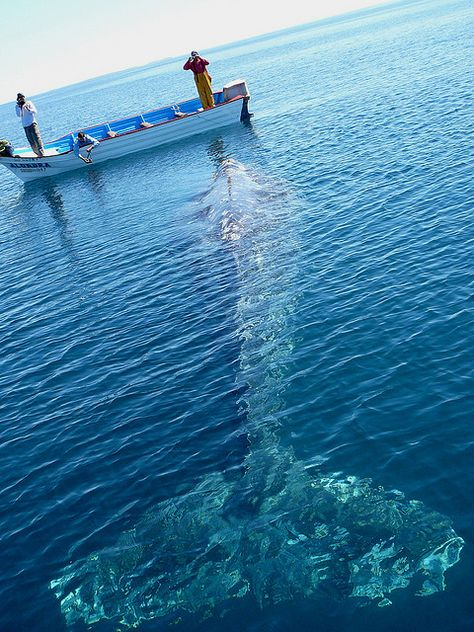 MEXICO; we paddled up to this grey whale. He was asleep and snoring. by John Quilter, Feb 2006