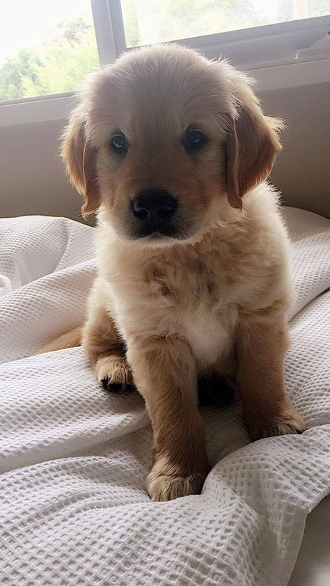 Astonishing Everything You Ever Wanted to Know about Golden Retrievers Ideas. Glorious Everything You Ever Wanted to Know about Golden Retrievers Ideas. Cute Baby Dogs, Cute Little Puppies, Cute Dogs And Puppies, Cute Little Animals, Cute Funny Animals, Doggies, Baby Animals Pictures, Cute Animal Pictures, Puppy Pictures
