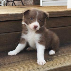 Ginger Z Border Collie Puppy Puppyspot Border Collie Puppies