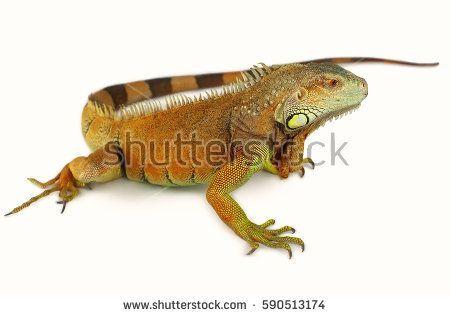 Portrait Of Big Iguana On Isolated White