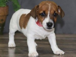 Dogs And Puppies For Sale In Ohio Dapple Dachshund Puppy Puppies For Sale Puppies