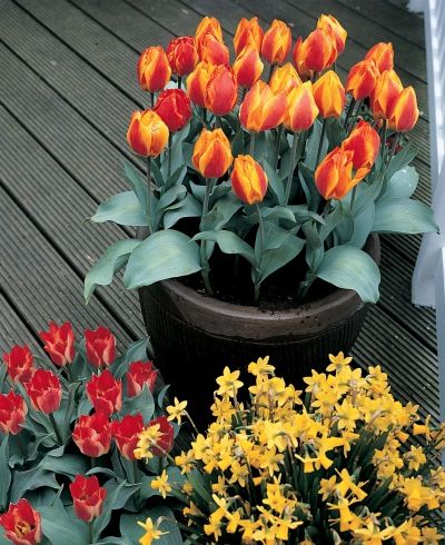 Plant Spring Bulbs In Containers Planting Daffodil Bulbs Planting Tulips Bulb Flowers