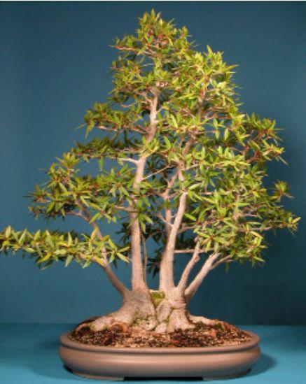 Bonsai Bonsaiplaza Ficusbonsai Ficus Bonsai Cuidado Del Jardin