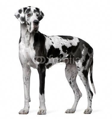 Harlequin Great Dane So Pretty Greatdaneblack Great Dane
