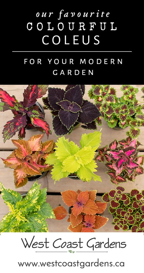 The Colours of Coleus for Your Modern Garden