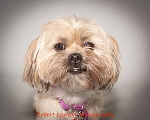 Macy Is An Adoptable Shih Tzu Dog In Eden Prairie Mn Macy Is A