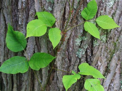 How To Remove Poison Sumac From Your Garden Poison Ivy Plants