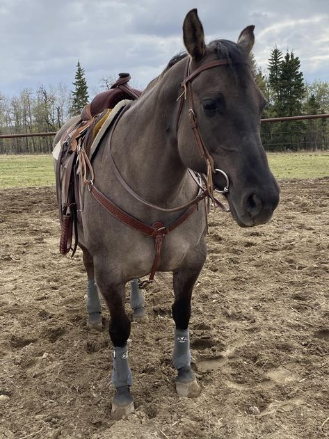 Grulla Horse, Reining Horses, Quarter Horses For Sale, Barrel Horses For Sale, Most Beautiful Horses, All The Pretty Horses, Cute Horse Pictures, American Quarter Horse, Cute Horses