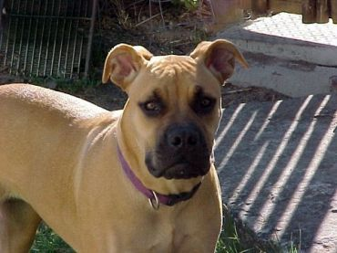 List of Pinterest boerboel puppies africans south africa