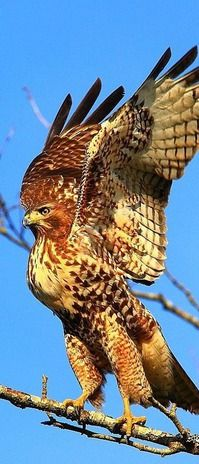 The Red-tailed Hawk is a bird of prey known in the U.S. as the chicken-hawk, tho it rarely preys on standard sized chickens. It breeds in most of North America, from W Alaska & N Canada as far south as Panama & the West Indies.
