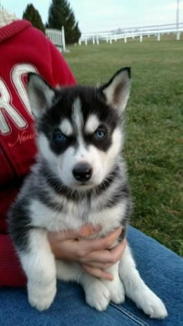 Siberian Husky Puppies For Sale Lancaster Puppies Siberianhusky