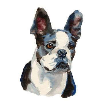 The Boston Terrier Dog Brush Effect Watercolor Illustration Sketch Png Transparent Clipart Image And Psd File For Free Download Boston Terrier Boston Terrier Dog Dog Brushing