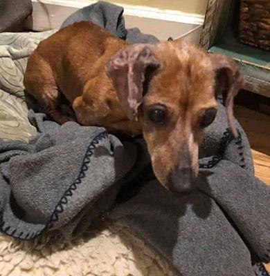 Greensboro Nc Dachshund Meet Stanley A Pet For Adoption Pet