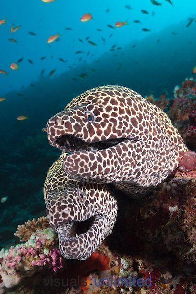 Pair of Honeycomb Moray Eels