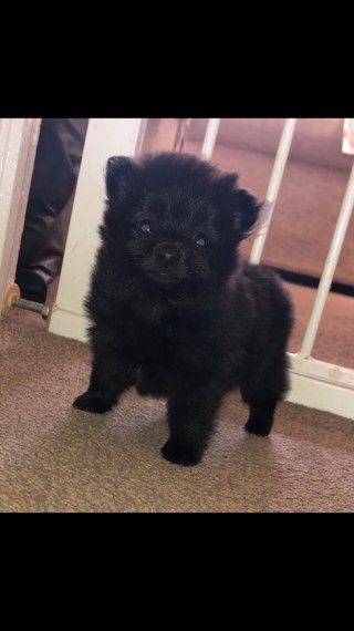 Black Pomeranian For Stud Black Pomeranian Pomeranian Breed