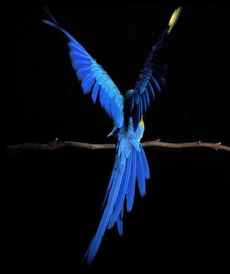 macaw. (by carla ghysels)