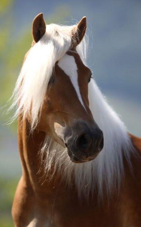 Horses Horselove Haflinger Pferde Pferde Hubsche Pferde