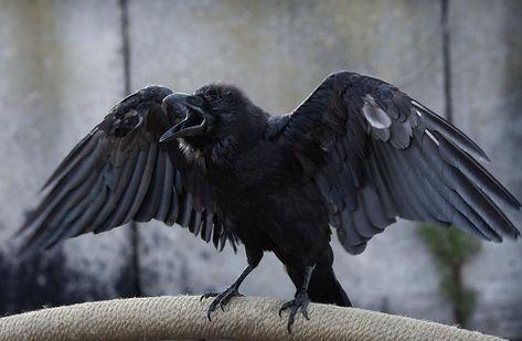 Raven, Crow, et Corbacs  0183c7b9f7e1bf3054ef776ed0fbcb00