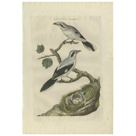Antique Bird Print Of The Great Grey Shrike By Sepp & Nozeman, 1789