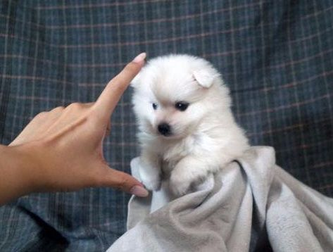 Japanese Spitz Puppy For Sale In Los Angeles Ca Adn 70608 On