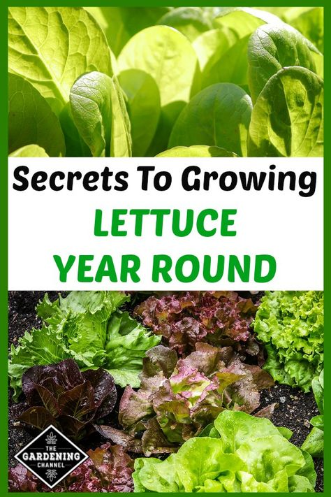 Garden To Remember With This Useful Advice. Learn how to grow lettuce year round, including how to grow in mixed beds in your vegetable garden.Learn how to grow lettuce year round, including how to grow in mixed beds in your vegetable garden.