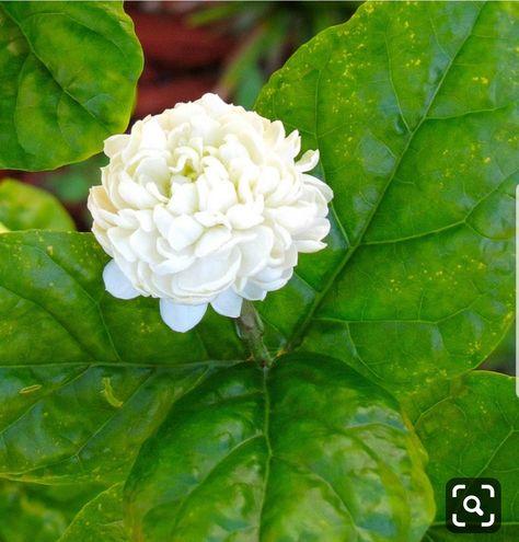 Pin By Priyanka Reddy On Jasmine Flower Flowers Jasmine Flower Pretty Plants