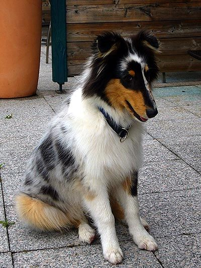 Collies Of The Biscuitbox Funny Farrago Collie Langhaar Collie Blue Merle
