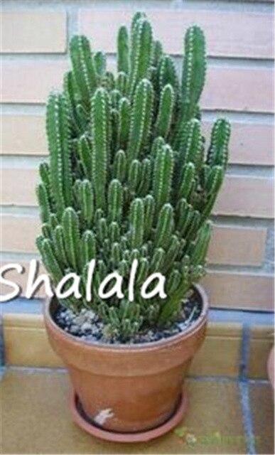 200 Pcs Rare Africain Cactus Plantas 5 Metre Haute Plante