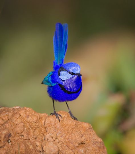 Splendid 'Fairy Wren' (Malurus splendens), also known simply as the 'Splendid Wren' or more colloquially in Western Australia as the 'Blue Wren', is a passerine bird of the Maluridae family. It is found across much of the Australian continent. Beautiful Creatures, Animals Beautiful, Cute Animals, Most Beautiful Birds, Wild Animals, Funny Animals, Cute Birds, Pretty Birds, Funny Birds
