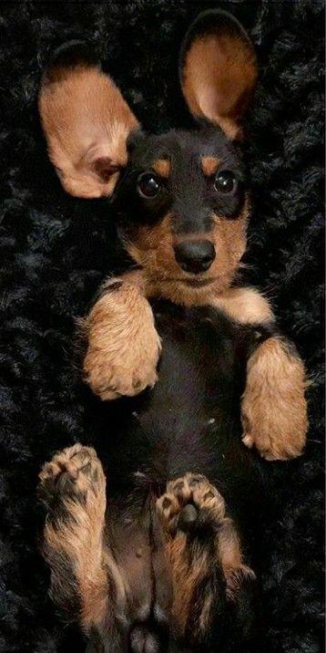 Dachshund Wirehaired Puppy Dachshund Dachshund Facts Dachshund