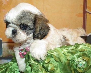 Hi My Name Is Lucy I M A Beautiful Purebred Shih Tzu Female I Am As Sweet As I Look I Love To Play With People Of Al Shih Tzu Puppy Shih