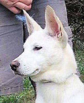 Pictures Of Adam A Labrador Retriever For Adoption In Germantown