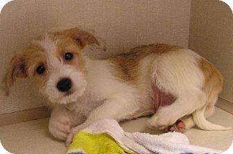 Adopt A Pet Lorex Gainesville Fl Chihuahua Mix Pets
