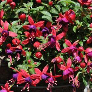Fuchsia Aretes Jollies Nantes Fuchsia Flowers Garden Plants