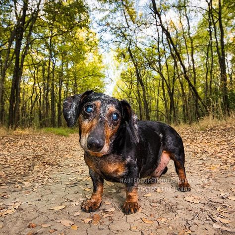 dallasdogphotographer This darling dapple Doxie is...