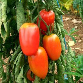 Salattomate Rote Zora Fruchte Und Gemuse Fruchte Tomaten