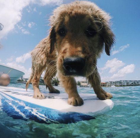 Credit To Mollylynch On Vsco Goldenretriever Surfing Ocean
