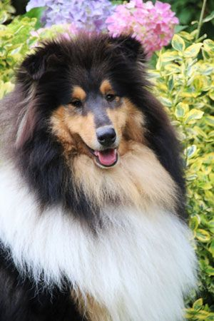 Freyeve Rough Collies In France Rough Collie Collie Puppies Collie