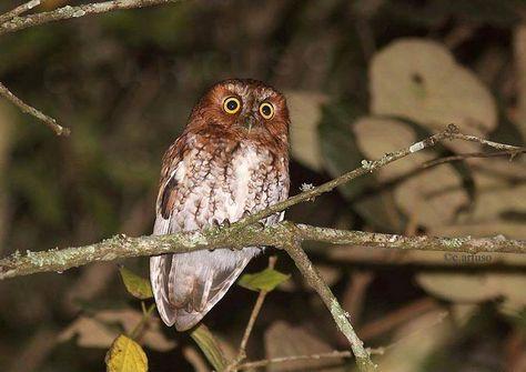 Bearded Screech Owl (Megascops barbarus). Photo by Christian Artuso.