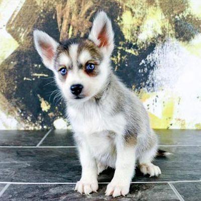 Pomsky Puppy Sale Male Grey White Blue Eyes Pomeranianpuppy