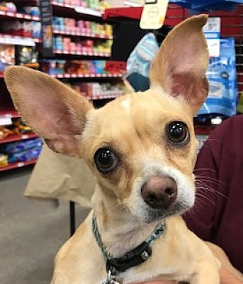 Studio City, CA - Italian Greyhound. Meet Gracie a Dog for Adoption.